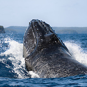 This perspective of a humpback whale (Megaptera novaeangliae) performing a forward head lunge provides a clear view of the whale's two blowholes. Viewed from this position, the blowhole structure resembles a human nose turned upside down. Baleen whales like humpbacks have two blowholes in this fashion, in contrast to toothed whales, which have a single blowhole.