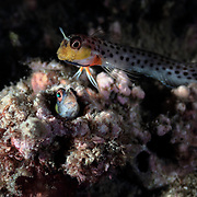 Pictured here is a pair of spotty blennies (Laiphognathus multimaculatus) engaged in spawning. When a female has finished depositing eggs, as pictured here, the male wants her to leave immediately. He hovers, prods, even strikes the female to force her out. He then takes responsibility for the eggs, but also continues to court other females in order to spawn again.