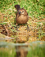 Female Brown-headed Cowbird (Molothrus ater). Campos Viejos, Texas. Image taken with a Nikon D4 camera and 600 mm f/4 VR lens