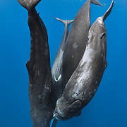 Four sperm whales (Physeter macrocephalus) hanging head down in the water, engaged in social interaction. Sperm whales are tactile, often making body contact with other whales, as shown here. They also produce a lot of sound during social interaction like this. Photo taken in Roseau, Dominica.