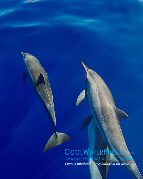 Long-snouted Spinner Dolphins, bow-riding, Stenella longirostris, off Kona Coast, Big Island, Hawaii, Pacific Ocean