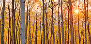 Late afternoon backlighting shines through translucent aspen leaves, setting them aglow like stained glass.
