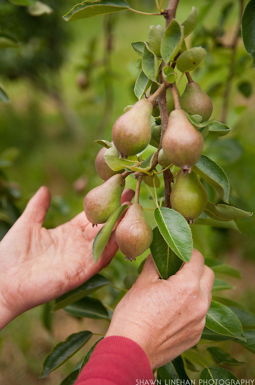Woman's hands grasping Fig Branch.