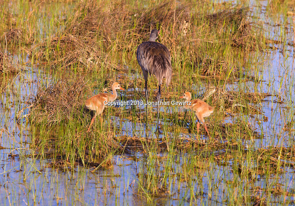 An adult Sandhill Crane (Grus canadensis) is followed by two Sandhill Crane chicks while foraging for food on flooded sawgrass prairie in the Shark Valley section of Everglades National Park, Florida. WATERMARKS WILL NOT APPEAR ON PRINTS OR LICENSED IMAGES.