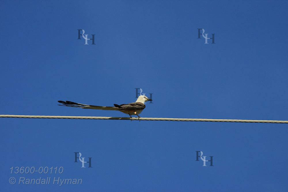 Scissor-tailed flycatcher (Tyrannus forficatus), state bird, near Claremore, Oklahoma.