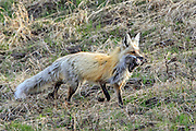 Red Fox Hunting and Carrying Numerous Meadow Voles