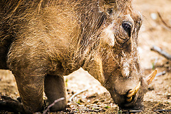 """Warthogs are members of the same family as domestic pigs, but present a much different appearance. These sturdy hogs are not among the world's most aesthetically pleasing animals—their large, flat heads are covered with """"warts,"""" which are actually protective bumps. Warthogs also sport four sharp tusks. They are mostly bald, but they do have some sparse hair and a thicker mane on their backs."""
