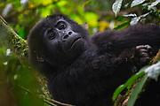 A close-up portrait of a female mountain gorilla (Gorilla beringei beringei),Bwindi Impenetrable Forest, Uganda, Africa