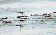 As the tide was rolling in, the Long-tailed Duck flock rode the waves at sunset.  Indian River Inlet Delaware