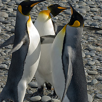 King Penguins slap each other with their flippers near a rookery at Salisbury Plain, South Georgia, Antarctica.