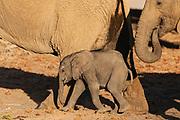 A small desert elephant calf (Loxodonta africana cyclotis) walking iwith its mother, Skeleton Coast, Namibia