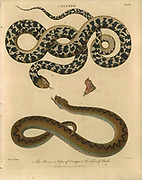Coluber The Berus or viper of Europe and the Viper of Rhedi Handcolored copperplate engraving From the Encyclopaedia Londinensis or, Universal dictionary of arts, sciences, and literature; Volume IV;  Edited by Wilkes, John. Published in London in 1810