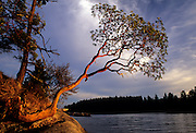 Madrone tree (Arbutus menziesii). Shaw Island, Washington.