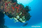 porkfish, Anisotremus virginicus, school under a ledge, Playa del Carmen, Cancun, Quintana Roo, Yucatan Peninsula, Mexico ( Caribbean Sea )