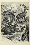 The Alpine ibex (Capra ibex), also known as the steinbock, bouquetin, or simply ibex, is a species of wild goat that lives in the mountains of the European Alps. It is a sexually dimorphic species: males are larger and carry longer, curved horns than females. Its coat colour is typically brownish grey. Alpine ibex tend to live in steep, rough terrain near the snow line. They are also social, although adult males and females segregate for most of the year, coming together only to mate. Four distinct groups exist; adult male groups, female-offspring groups, groups of young individuals, and mixed-sex groups. From the book ' Royal Natural History ' Volume 2 Edited by Richard Lydekker, Published in London by Frederick Warne & Co in 1893-1894