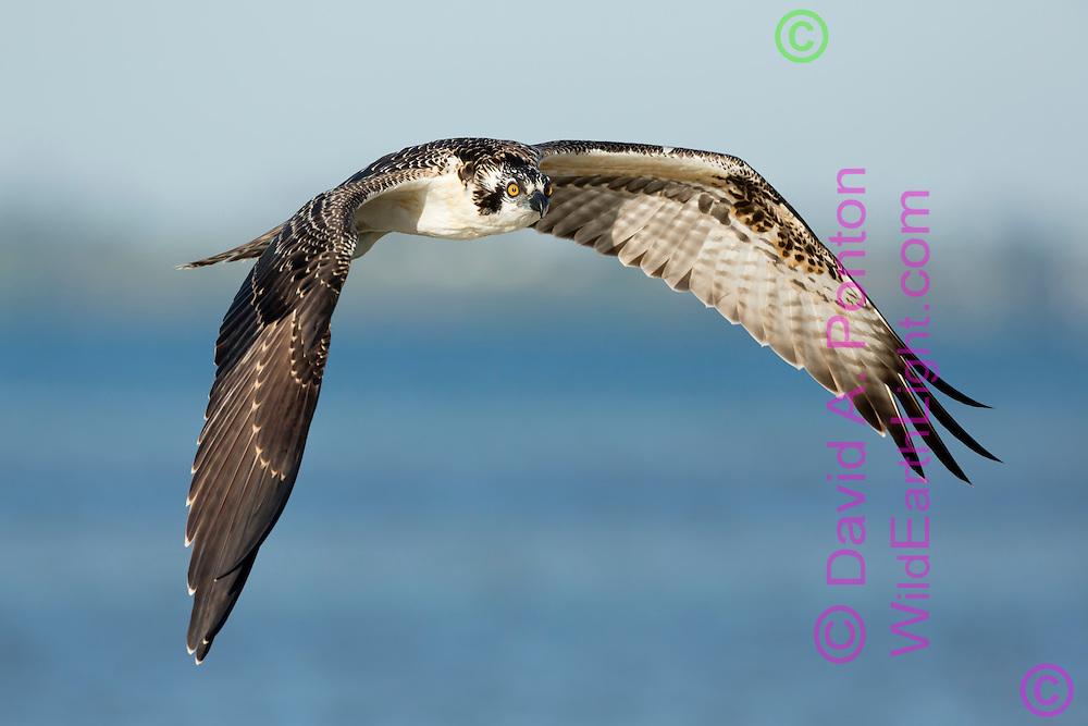 Osprey in flight over water, © David A. Ponton
