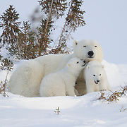 Polar Bear (Ursus maritimus) mother and cubs of the western Hudson Bay population recently out of the den. Churchill, Manitoba, Canada