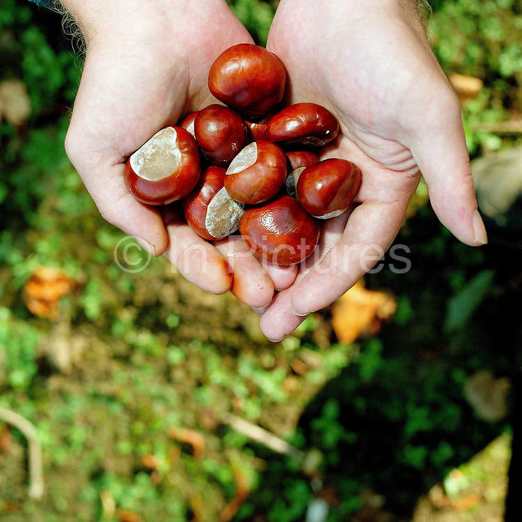 The hands of a conservation volunteer holding the seeds of a horse chestnut tree (conkers) gathered from the hedgerows around the Castle Howard Estate in North Yorkshire, UK. The seeds will be planted and grown on at the Estate's arboretum and eventually planted out to make more trees and hedges in the Howardian Hills. Castle Howard Estate is in the Howardian Hills AONB, a landscape with well-wooded rolling countryside, patchwork of arable and pasture fields, scenic villages and historic country houses with classic parkland landscapes.