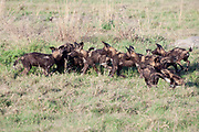 Wild dog puppies playing in early morning