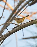 Palm Warbler (Setophaga palmarum). Fort De Soto County Park. St. Petersburg, Florida. Image taken with a Nikon D3 camera and 70-200 mm f/2.8 VR lens.