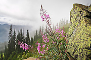 Scarlet fireweed flowers (Epilobium angustifolium) grow against a boulder made yellow by lichen in an alpine meadow below Glacier Peak, Glacier Peak Wilderness, Washington.