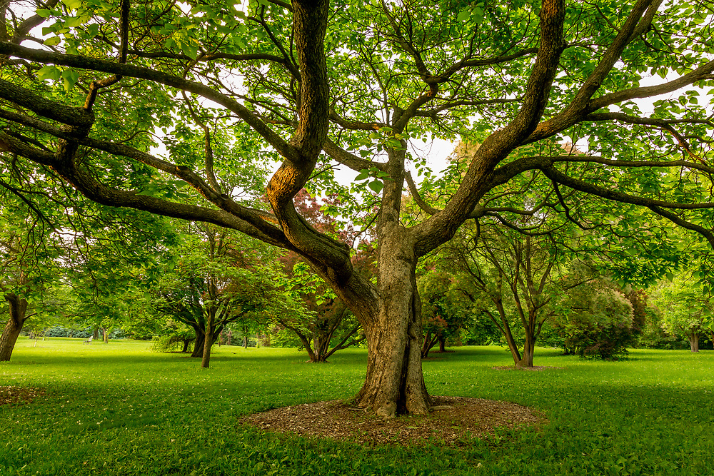 With outstretched limbs, a tree offers a warm, welcome embrace in Longenecker Gardens at the UW-Madison Arboretum on Madison's near west side. Photo taken June 12, 2018.