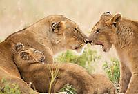 A female Lion, Panthera leo melanochaita, with two cubs in Maasai Mara National Reserve, Kenya