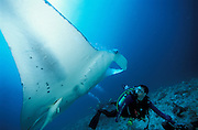 Giant manta ray (Manta birostris), underside full body view. Species is IUCN listed as vulnerable, South Ari Atoll, Maldives