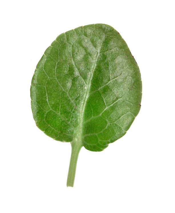Round-leaved Wintergreen - Pyrola rotundifolia
