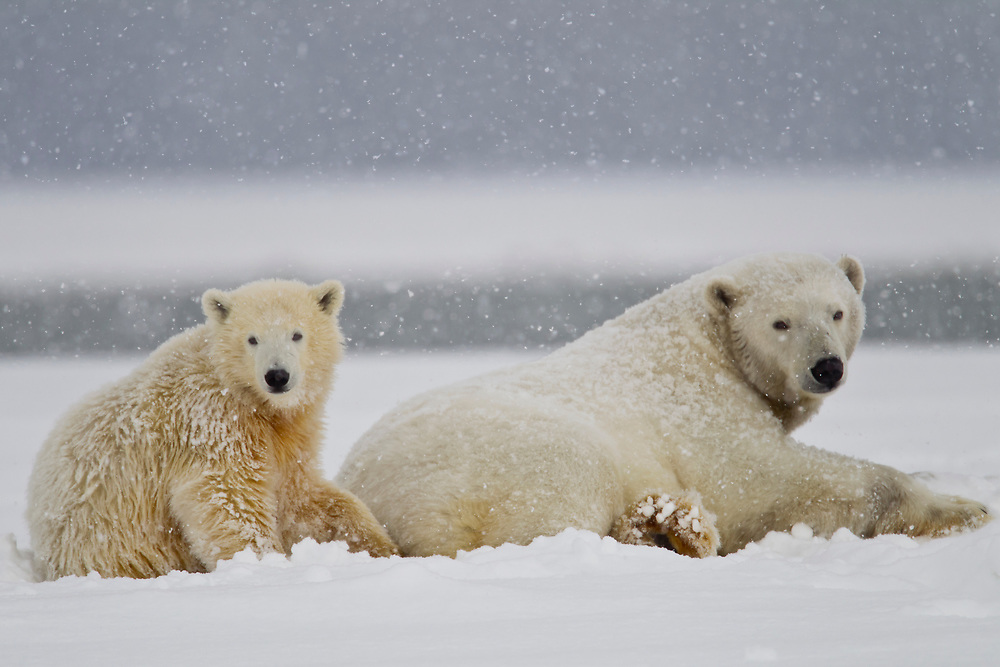 A female polar bear with her young cubs, lays on the ice in a snowstorm on the Beaufort Sea, off ANWR, Northern Alaska.