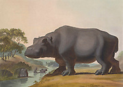 hippopotamus (Hippopotamus amphibius) hand colored plate from the collection of  ' African scenery and animals ' by Daniell, Samuel, 1775-1811 and Daniell, William, 1769-1837 published 1804