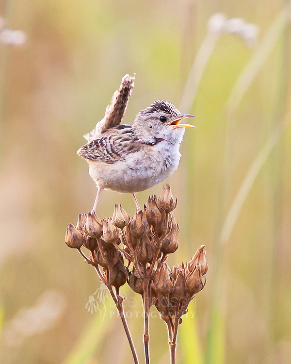 """The Sedge Wren nests in sedges and grasses, so prairies are great habitats for this small bird. Before this image was captured, I was making a """"pishing"""" sound with my lips. The wren became very interested and moved in closer. He flew to a nearby clump of Big Bluestem grass and sang his song. Then, he dropped to the ground and walked towards me, hidden among the prairie plants. All of a sudden, he popped up from the ground onto the seed heads of this Cinquefoil, only to sing me a parting tune."""