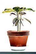 green leaved advocado plant still life