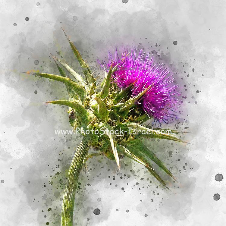 Digitally enhanced image of a blooming purple Milk Thistle (Silybum eburneum) Photographed in Israel