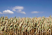 Nederland, Sambeek, 31-7-2018Door de aanhoudende droogte hebben mens en natuur het moeilijk . Doordat regenval uitblijft worden de waterbuffers kleiner . De groei van mais in dit maisveld loopt achter , de plant vergeeld,verdord, en maakt geen kolven aan .Foto: Flip Franssen