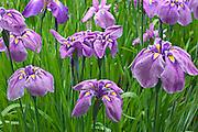 Blooming Iris Design
