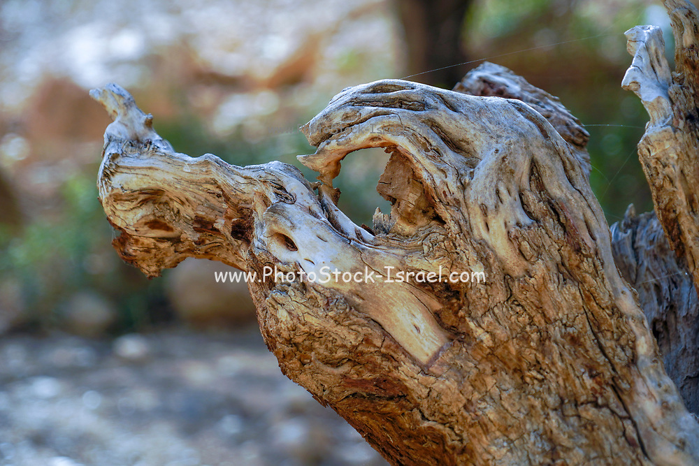 Dead, dry tree trunk. Photographed at Ein Gedi national park, Dead Sea, Israel