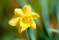 Late winter, and spring is comming! Daffodil bloom in the afternoon sun. Winter nature in New Jersey. Image taken with a Nikon 1 V1 camera, FT1 adapter, and 300 mm f/2.8 VR lens (ISO 100, 300 mm, f/2.8, 1/1600 sec).