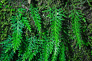 Spikemoss (Selaginella sp.) growing on a tree trunk in the rainforest of Ecuador close to La Selva Junglelodge and Lake Garzacocha.