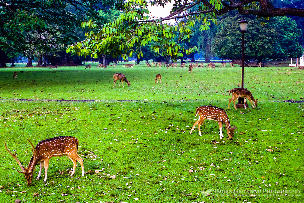 Indonesia, Java, Bogor. Istana Bogor is one of 6 Presidential Palaces in Indonesia. A herd of spotted deer can be seen inside the walls.