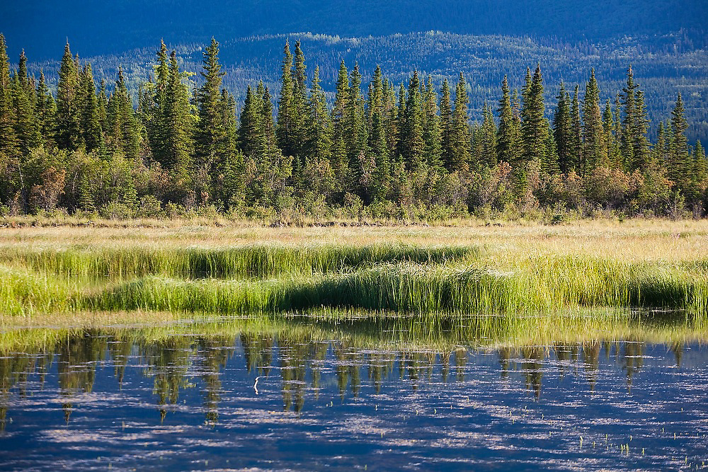 Grasses, shrubs, black spruce (Picea mariana) and the distant hills are reflected in a small lake along the McCarthy road into Wrangell-St. Elias National Park, Alaska.