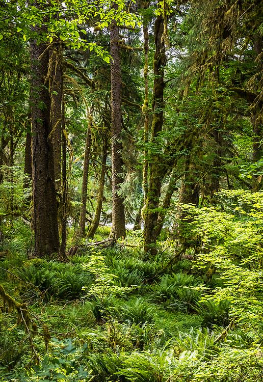Hoh rainforest, Olympic National Park, Washington, USA.
