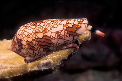 This strikingly beautiful shell is a Textile Cone, Conus textile. Like other cones, it hunts by firing a miniature harpoon into its prey from its specialized proboscis, the tube-like structure extending above the eyes. It then injects a powerful venom, so potent it can be fatal to humans. Richelieu Rock, Thailand, Andaman Sea