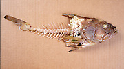 An cooked fish skeleton