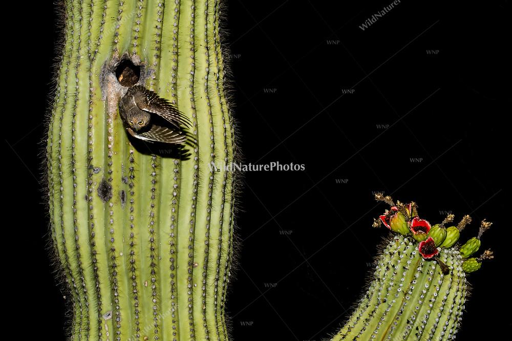 A male Elf Owl (Micrathene whitneyi) flying out of a nest in a Saguaro cactus (Carnegiea gigantea). (Tucson, Arizona)