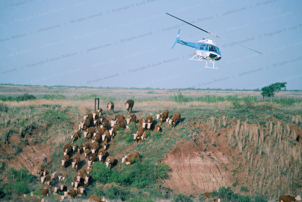 Cowboys cut cattle with a helicopter at the Wagoner Ranch near Vernon in Texas .