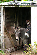 Traditional lakeland donkeys  in the Lake District National Park, Cumbria, UK