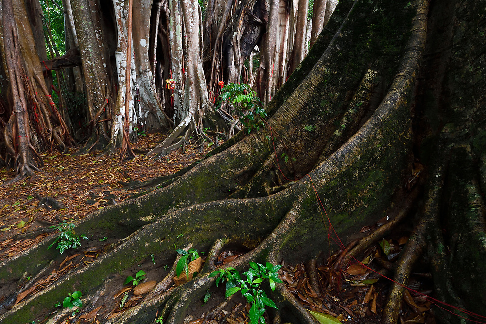 1000 year old grove of Banyan fig trees, Ficus benghalensis, sacred and venerated, Tongbiguan nature reserve, Dehong prefecture, Yunnan province, China