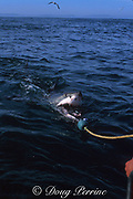 great white shark, Carcharodon carcharias, seizing a pull bait, off Gansbaai, South Africa ( Indian Ocean )