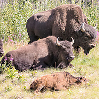 Buffalo family rests during midday heat, near the Alaska Highway, British Columbia, Canada